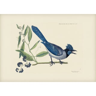 Mark Catesby Print of Crested Jay, Plate 15 For Sale