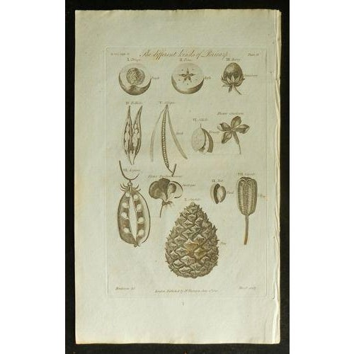 1812 Antique British Flora Pericorp Print - Image 2 of 3