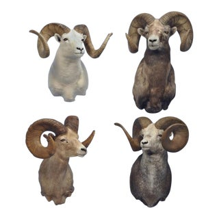 """Grand Slam"" of Monster North American Wild Sheep - Set of 4 For Sale"