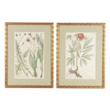 Image of 19th Century Hand-Colored Botanical Lithograph Pair For Sale