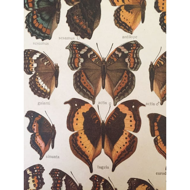 1910 Butterfly Specimen Lithograph - Image 3 of 4