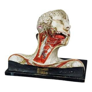 Anatomical Model Of A Dissected Head By Nicolas-augier-roux Ca. 1920 For Sale