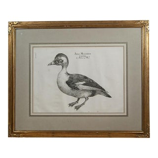 An Engraving of a Muscovy Duck