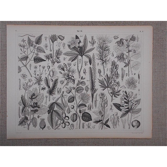Antique Botanical Lithograph - Image 2 of 3