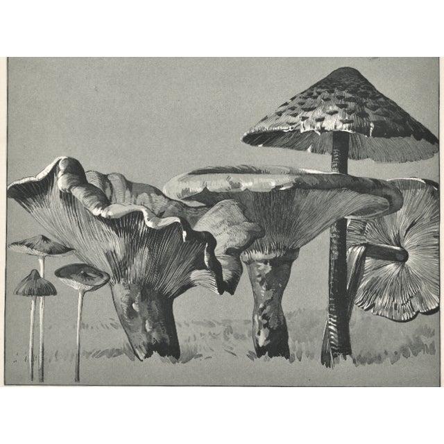1904 French Botanical Mushrooms Lithograph - Image 3 of 3