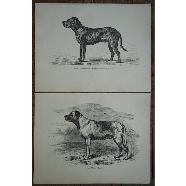 Antique Hunting Dog Engravings - A Pair - Image 2 of 4