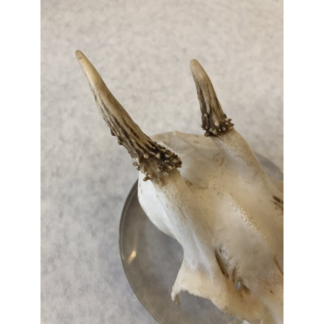 Unique small antlers and partial skull mounted on a Lucite base, for a modern touch. This piece looks great grouped in a...