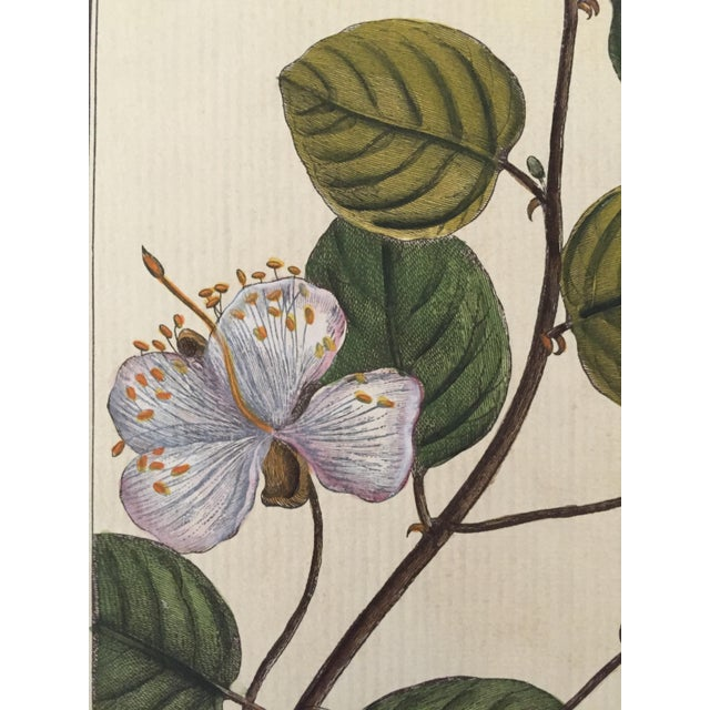 Antique Botanical Hand Colored Etching - Image 4 of 4