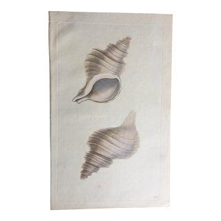 Antique Natural History Shell Print