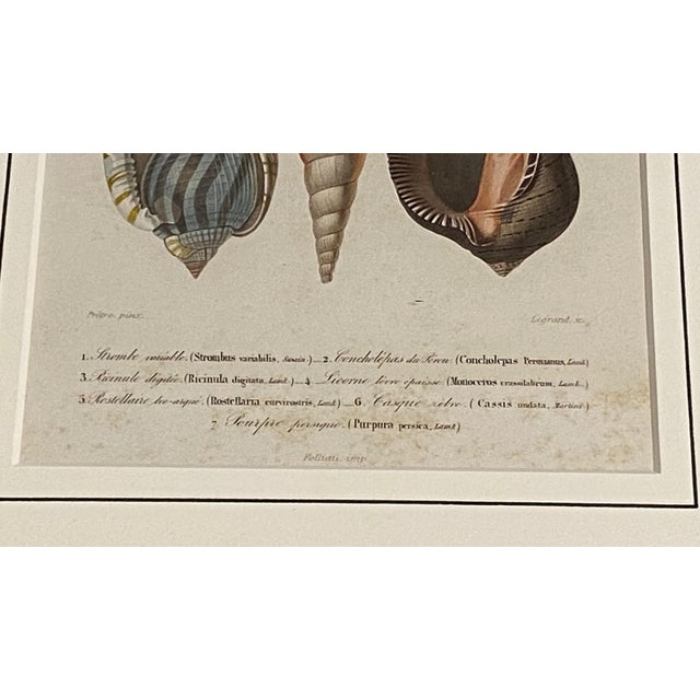 Shell Antique French Mollusk Sea Shell Engravings - Set of Four For Sale - Image 7 of 13
