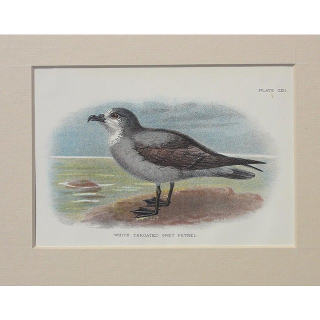 White Throated Grey Petrel Print, 1890 - Image 4 of 4