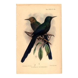 """Scoptelus Brunneiceps"", Limited Edition Bird Lithograph Originally Hand-Colored and Pencil Signed by J. G. Keulemans Del. Et Lith. 1904 For Sale"