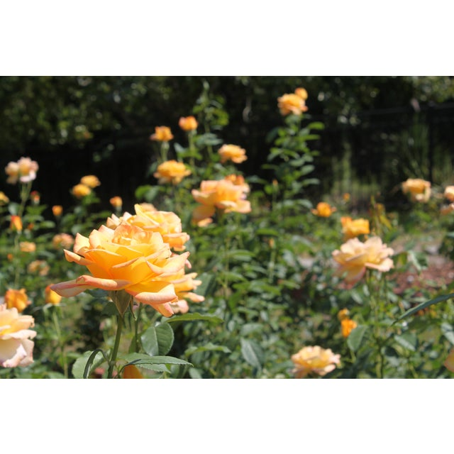 Yellow Roses Photograph by Josh Moulton For Sale