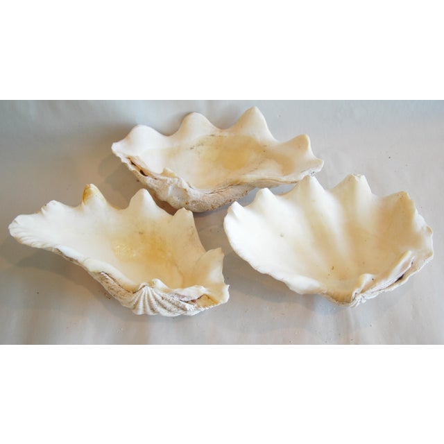 Antique Nautical Seashells Clamshells - Set of 3 - Image 2 of 7