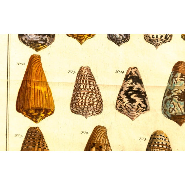 Paper Pair of Framed Hand-Colored Lithographs of Shell Species, 19th Century For Sale - Image 7 of 11