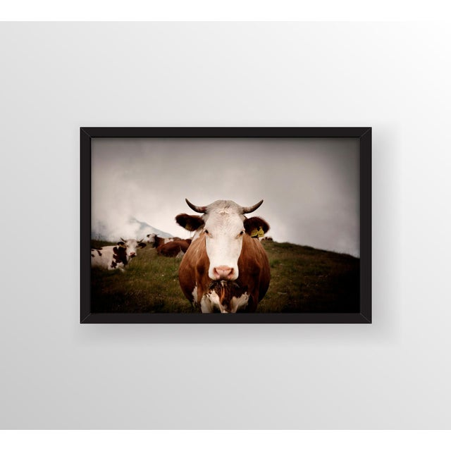 Now that's one beautiful bovine! This photograph is framed in a contemporary shadow box with a full bleed photograph. All...
