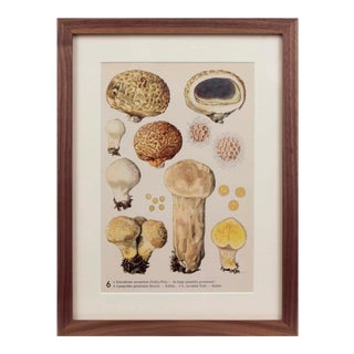 Early 20th Century Mycology Plate, Framed. For Sale