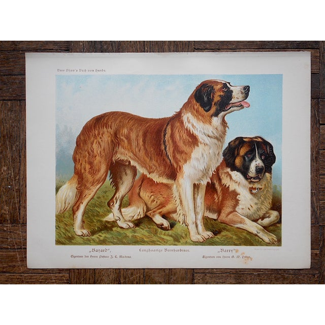 Antique Dog Lithograph - St. Bernards - Image 2 of 3