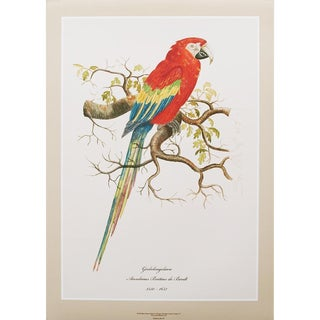 1590s Large Print of Scarlet Macaw by Anselmus De Boodt For Sale