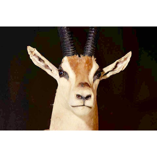 Early 20th Century Vintage African Antelope Gazelle Mounted Taxidermy For Sale - Image 5 of 10