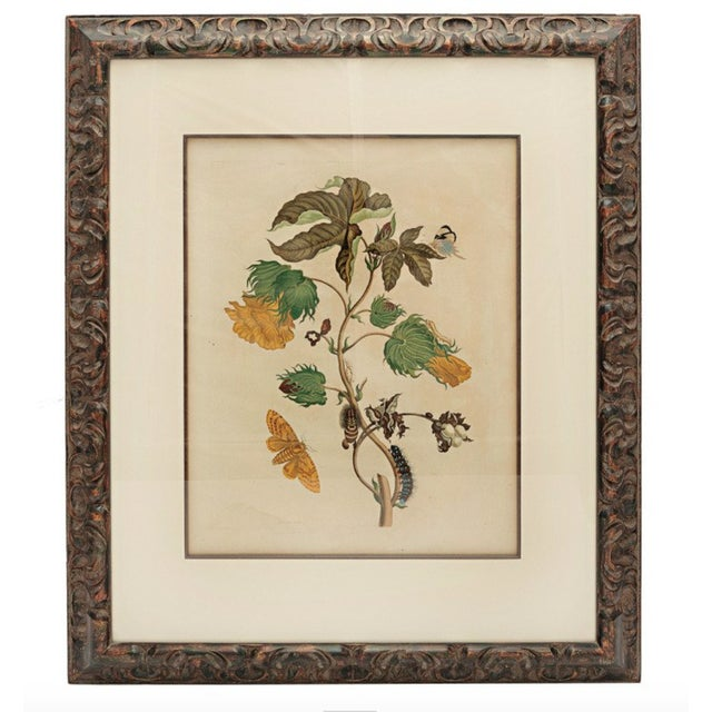 Early 18th Century 18th Century Antique Maria Sydilla Merian Hand Colored Engraving For Sale - Image 5 of 5