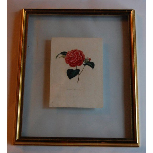 Wood Four j.j. Jung Camellias Pressed Between Glass For Sale - Image 7 of 9