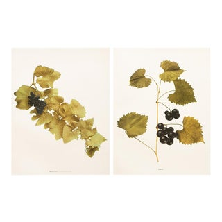 Grapes of New York Antique Photoprints - Set of 2