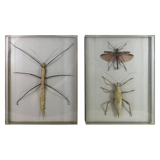 Museum Mounted Exotic Specimen Insects- a Pair