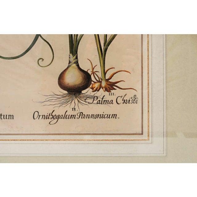 "17th Century Basil Besler ""Ornithogalum Spicatum"" Botanical Print For Sale - Image 4 of 7"