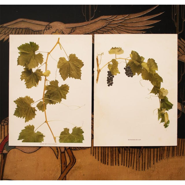Green 1900s Original Grapes Photogravures by Hedrick - Set of 2 For Sale - Image 8 of 10