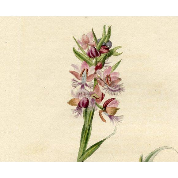 Original hand-colored engraving from the early 1800s of the Purple-fringed Orchid, a plant native to North America from...