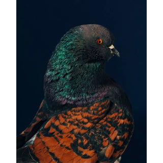 "Contemporary Limited Edition Black Modena Bronze Shield Pigeon by Brendan Burden (20x24"") For Sale"