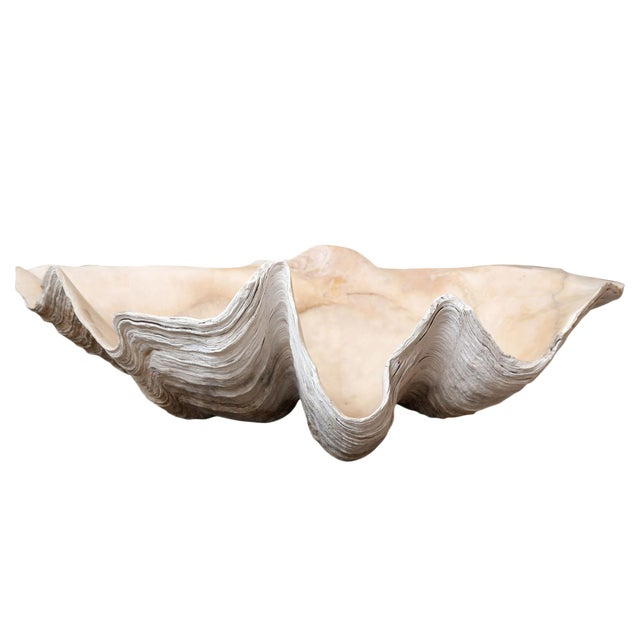 Giant South Pacific Clam Shell For Sale