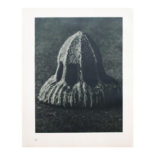 Karl Blossfeldt Photogravure N9-10, 1935