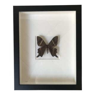 Shadow Box Chocolate Moth