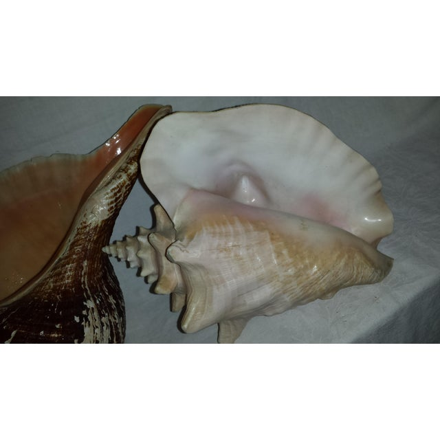 Huge Nautical Natural Conch Shells - a Pair For Sale - Image 4 of 6