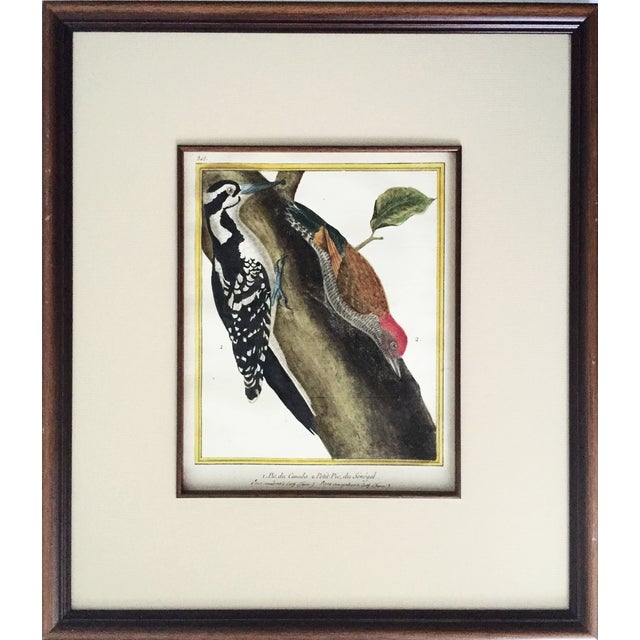 18th-C. Martinet Ornithological Engraving For Sale
