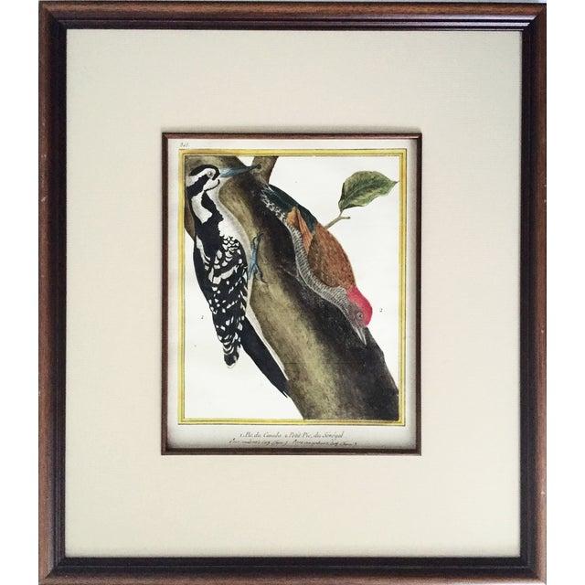 18th-C. Martinet Ornithological Engraving - Image 1 of 6
