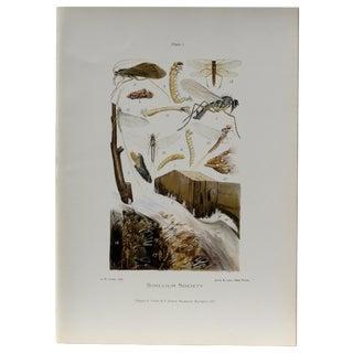 Simulium Flies Print, Circa 1900 For Sale