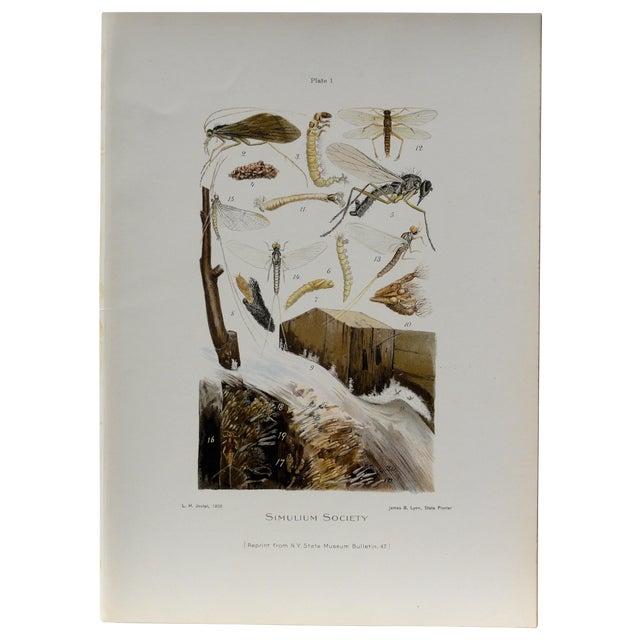 Simulium Flies Print, Circa 1900 - Image 1 of 7