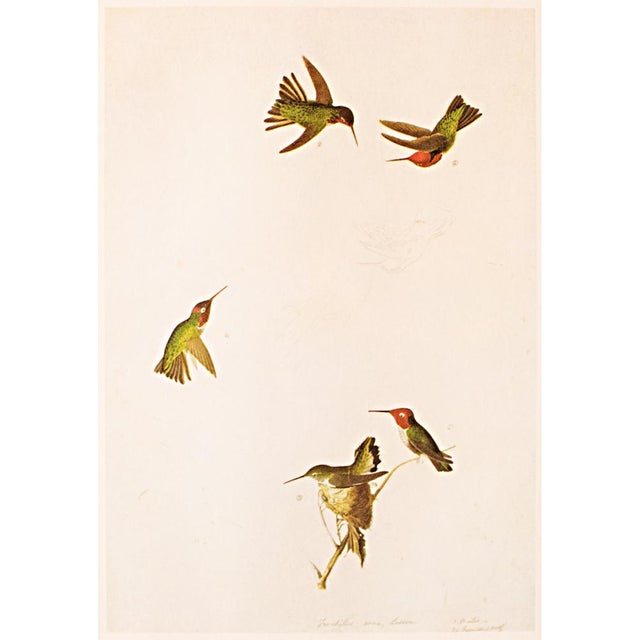 A lovely large vintage reproduction of the original lithographic print of Anna's Hummingbird by John James Audubon from...