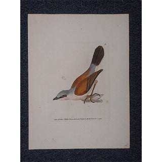 Antique 18th Century Bird Engraving Preview