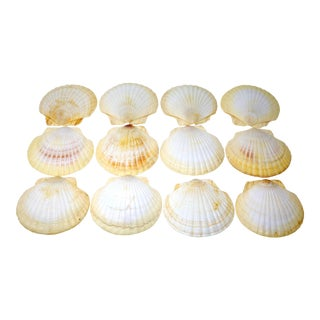 "5"" Scallop Shells for Serving or Baking - Set of 12 For Sale"