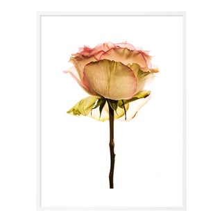 Rose by David Knight in White Framed Paper, Small Art Print For Sale