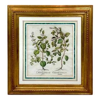 Basilius Besler, Calamintha Montana Vul Garis, II For Sale