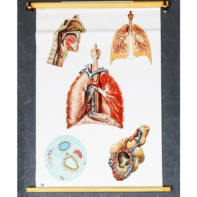 Vintage Circulatory and Respiratory Learning Poster - A Pair For Sale - Image 4 of 7