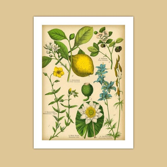 Realism Antique 'Lemon Botanical' Archival Print For Sale - Image 3 of 4
