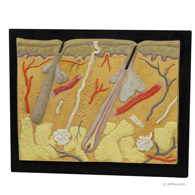 Antique Teaching Aid Human Skin Model On Wooden Plate For Sale - Image 6 of 6