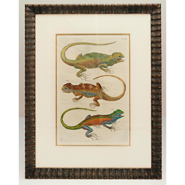 Mid 18th Century Albertus Seba 18th Century Hand-Colored Print of Three Lizards For Sale - Image 5 of 5