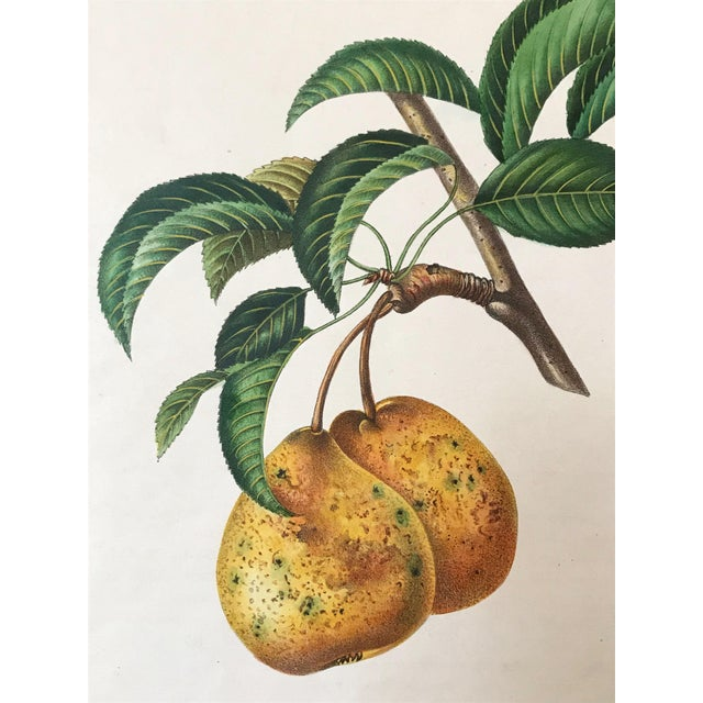 English Traditional Antique 19th Century French Lithograph of Pear For Sale - Image 3 of 5
